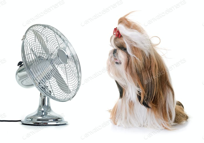 shihtzu and fan