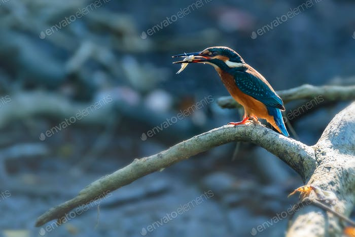 Kingfisher or Alcedo atthis with insect in beak perches on branch