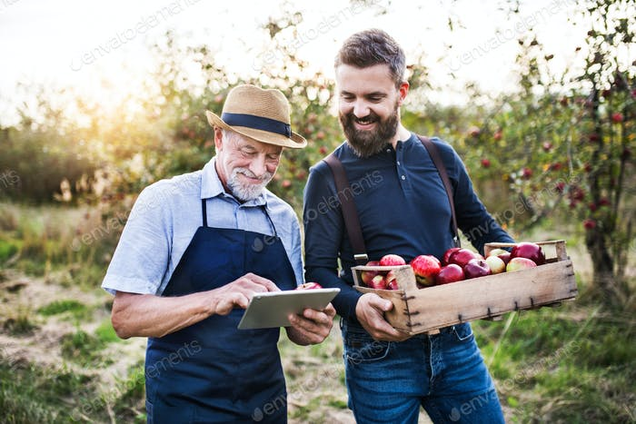 A senior man and adult son with a tablet standing in apple orchard in autumn.