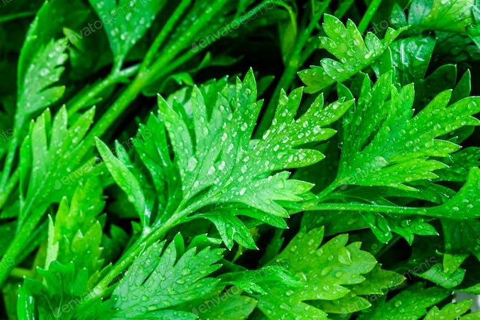 organic fresh bunch of parsley with drops closeup