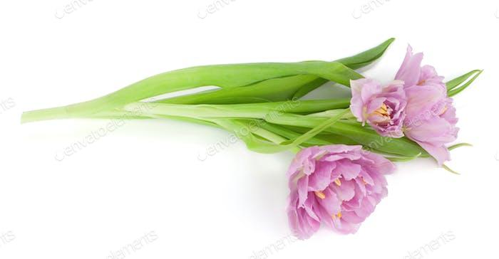 Lying pink tulips