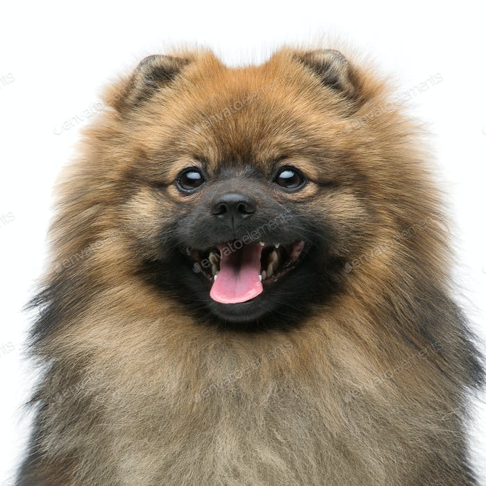 beautiful spitz dog on grey background