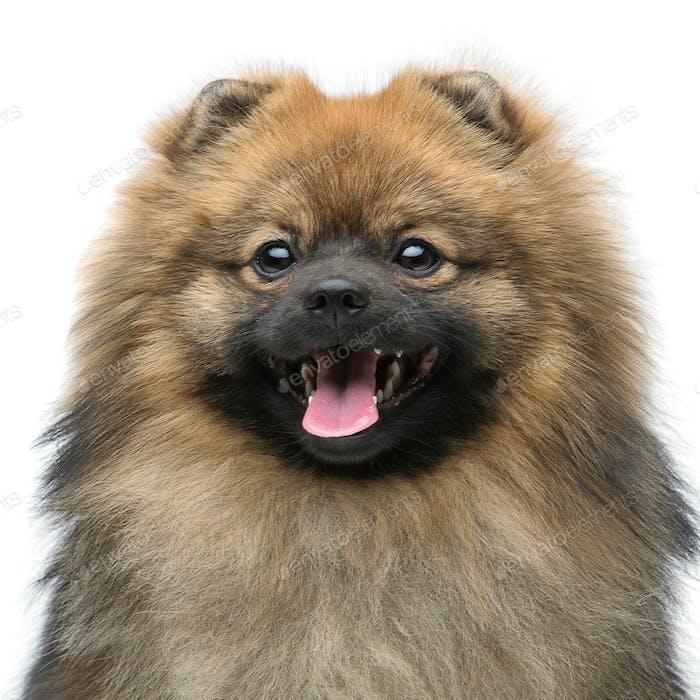 schöner Spitz Hund auf grauem Hintergrund