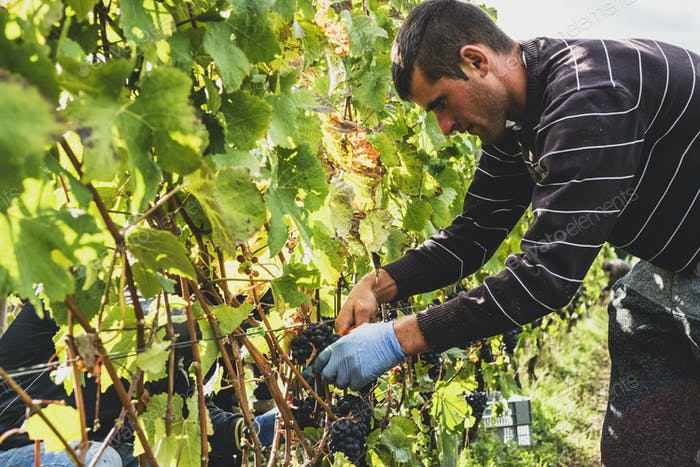 Man standing in a vineyard, harvesting bunches of black grapes.