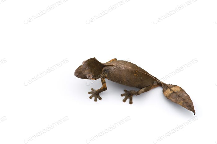 Mossy Leaf-tailed Gecko top view isolated on white bacground