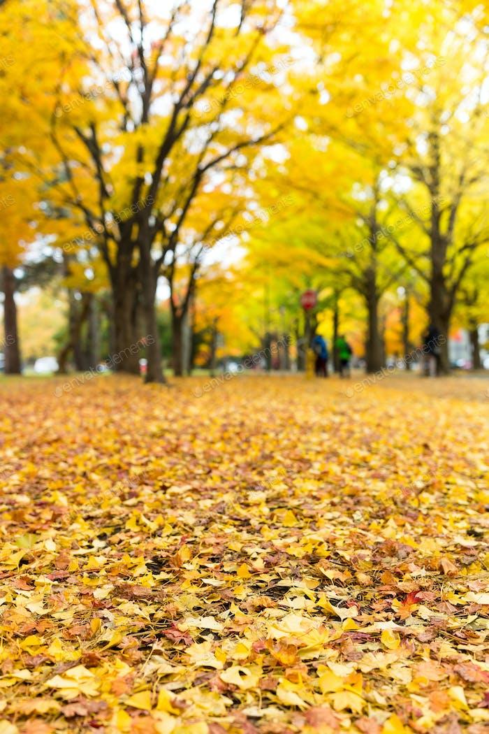 Golden leaves of gingko tree