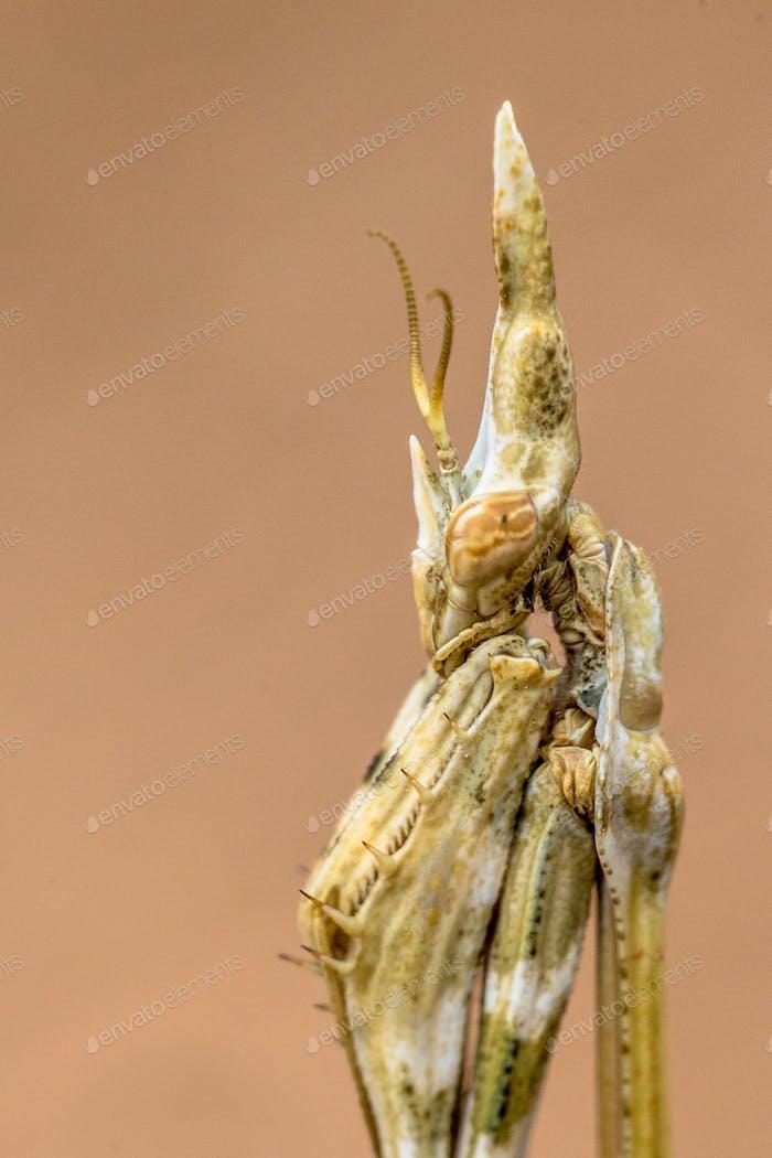 Portrait of Conehead praying mantis