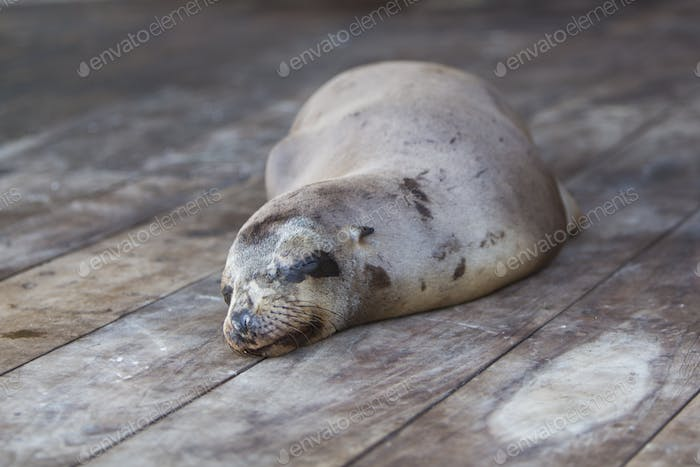 Sleeping Sea Lion in the Galapagos