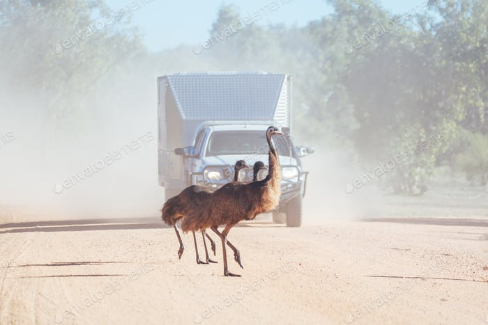 Emus Crossing a Road in Australia