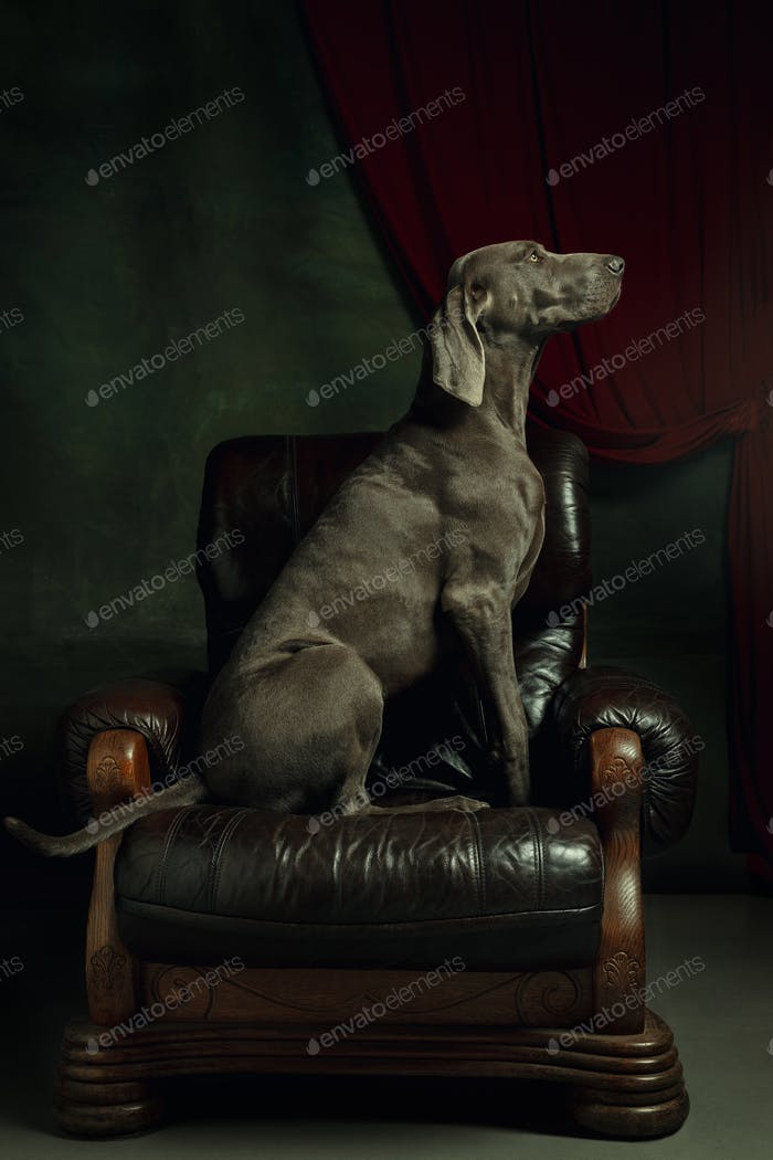 Studio shot of weimaraner dog like a medieval aristocrat