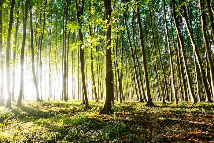 Morgenlicht der Sonne macht seinen Weg durch den Wald
