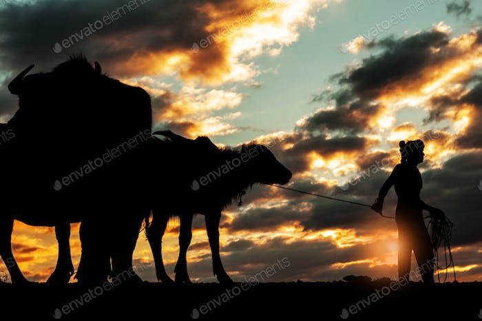 Farmers with of buffalo at sunset