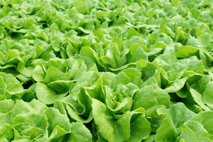 Thumbnail for Fresh butterhead salad lettuce