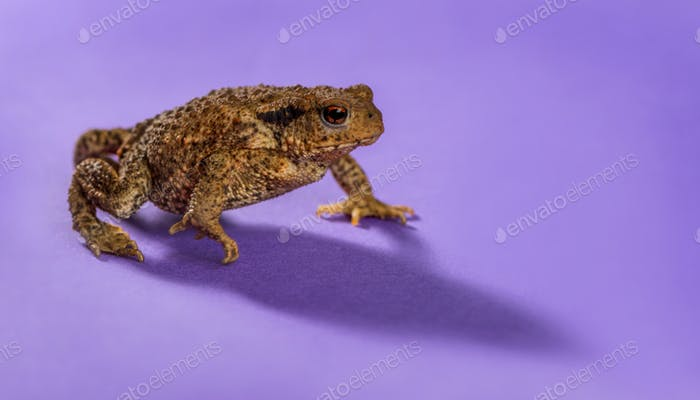 European toad, bufo bufo, in front of a purple background