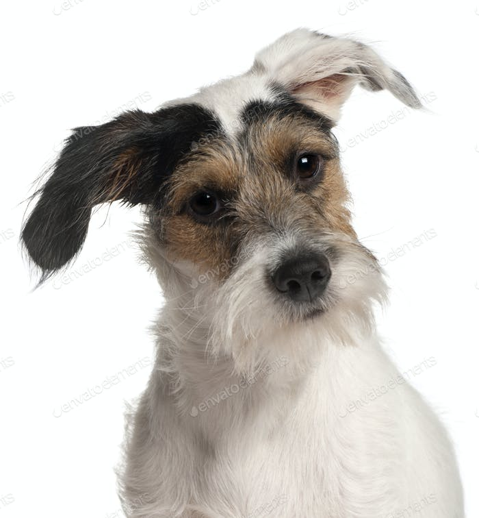 Close-up of Fox Terrier puppy, 6 months old, in front of white background