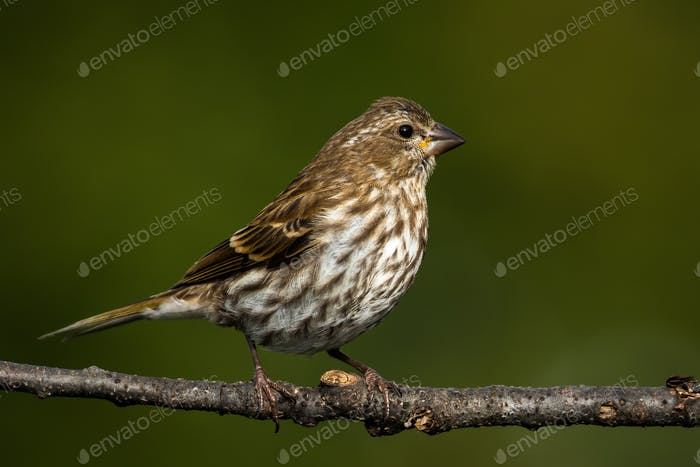 Purple Finch - Haemorhous purpureus, a female perched on a branch.