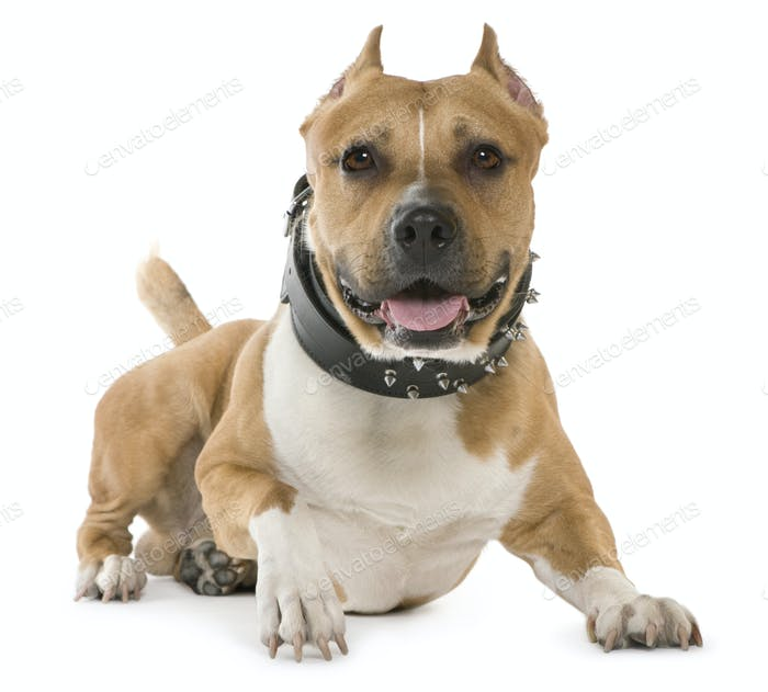 American Staffordshire Terrier, 5 years old, lying in front of white background