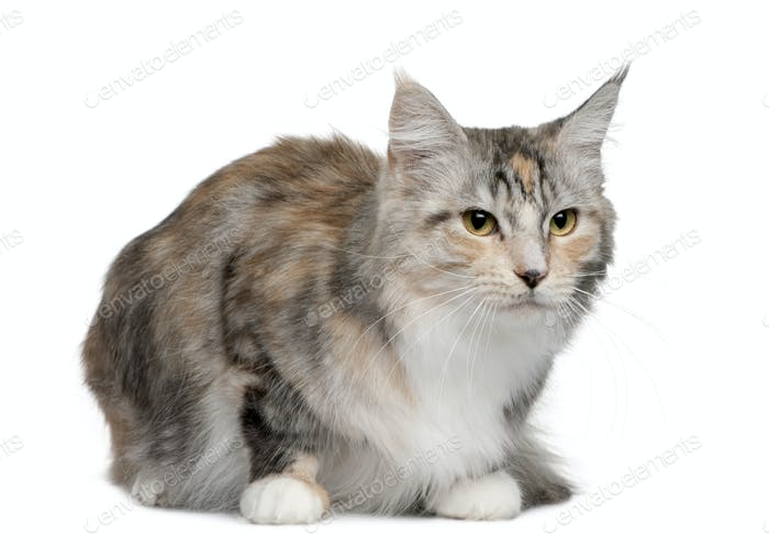 Maine coon, 4 years old, sitting in front of white background