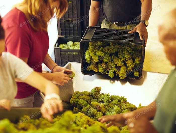 Arbeiter Sortieren Trauben auf Förderband im Weingut