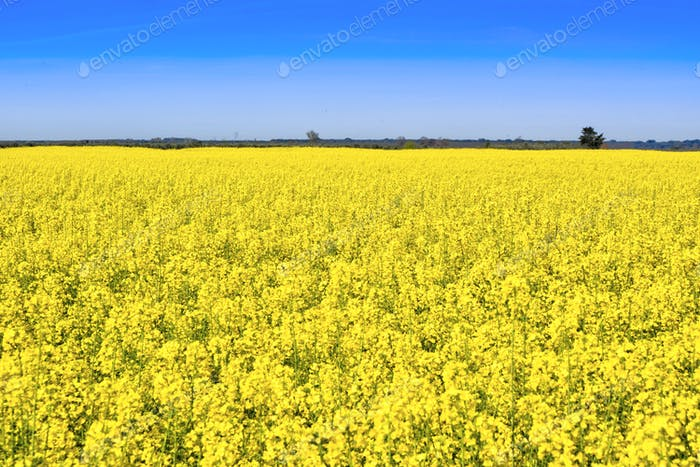 A yellow field of Colza