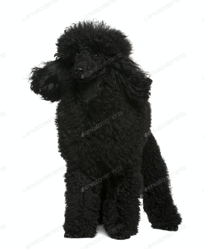 Poodle, 10 months old, standing in front of white background