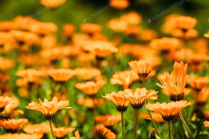 Orange Flower Of Calendula Officinalis. Medicinal Plant