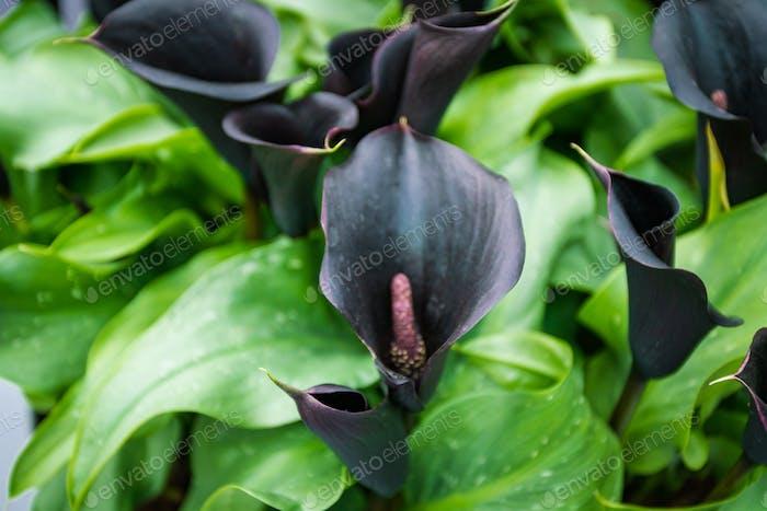 púrpura oscuro, lirio calla negro. Callas violeta oscuro