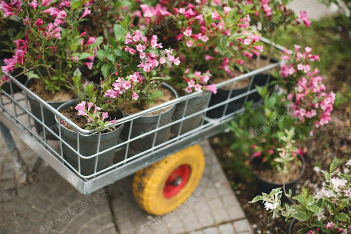 Close up photo of beautiful pink flowers in little garden cart outdoor