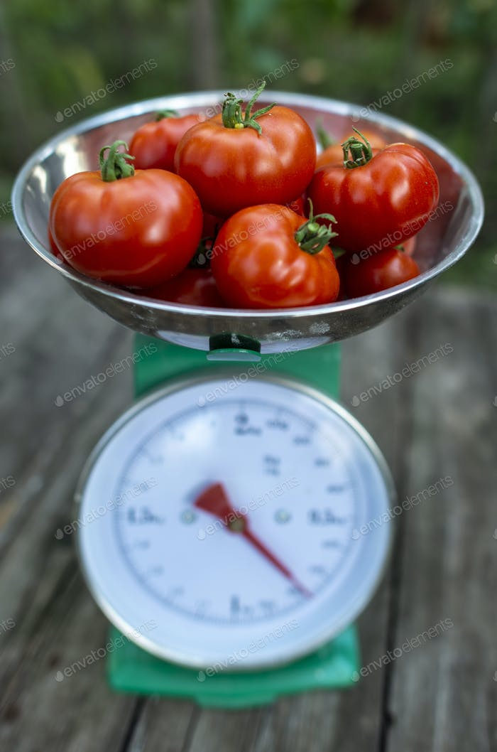 Tomatoes on scales in home organic garden.