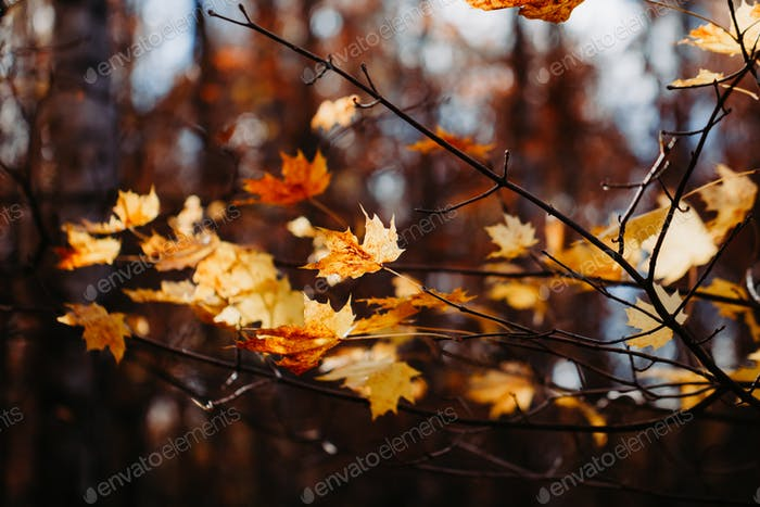 Maple in Autumn forest