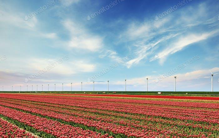 Beautiful red tulip field