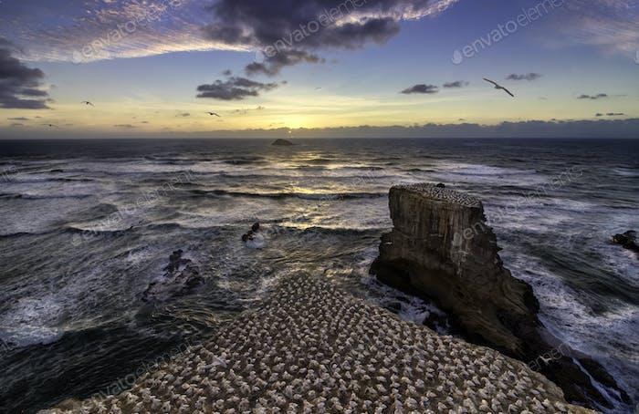 New Zealand muriwai beach gannet birds