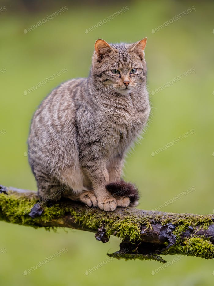 Thumbnail for European wild cat sitting on a branch