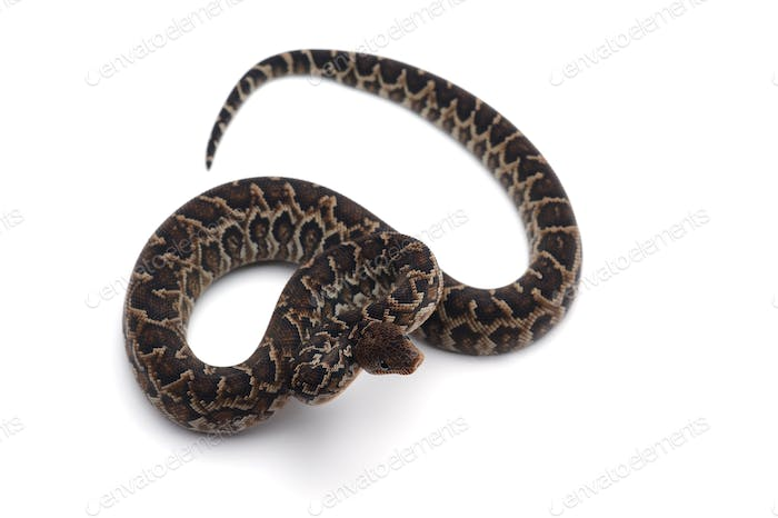 Thumbnail for Cuban tree boa isolated on white background