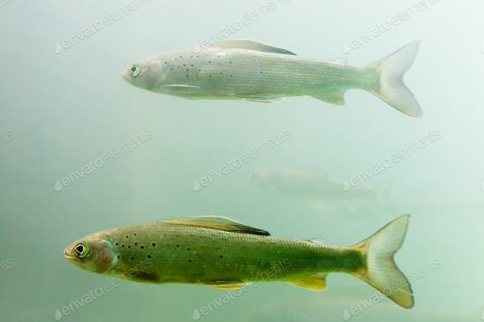 Arktische Äsche Schwarm Thymallus arcticus unter Wasser