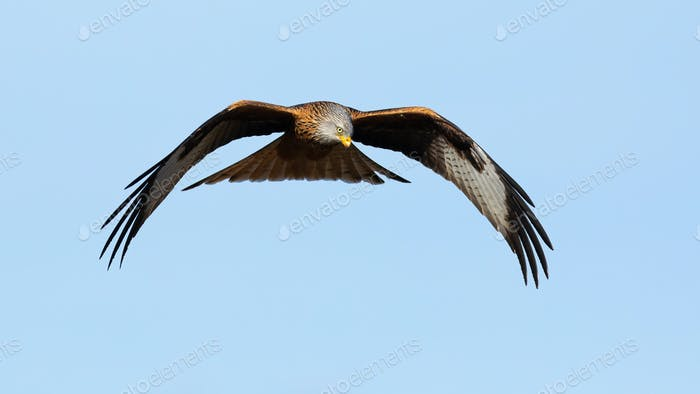Red kite in flight on the blue sky from front