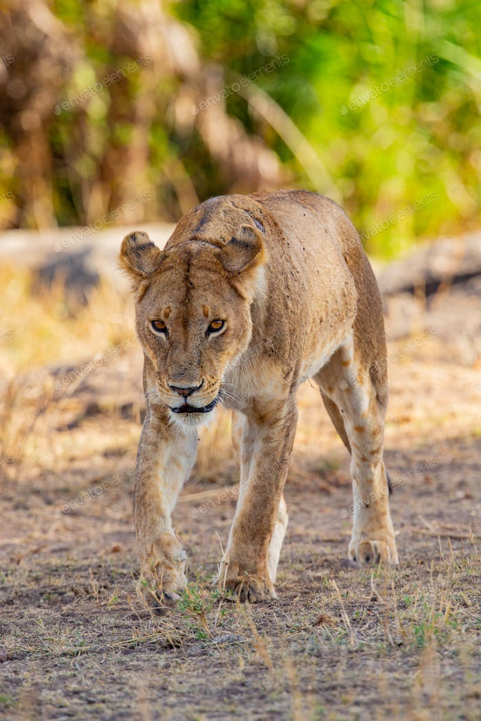Dangrous looking lion walking towards the camera