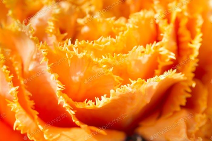 Tulip close-up shot