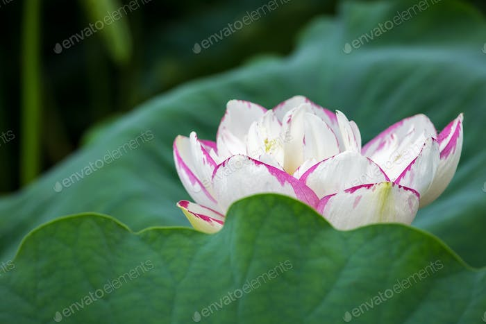 buddha lotus flower bloom