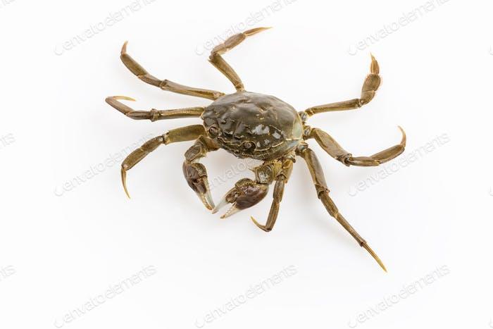 living crab