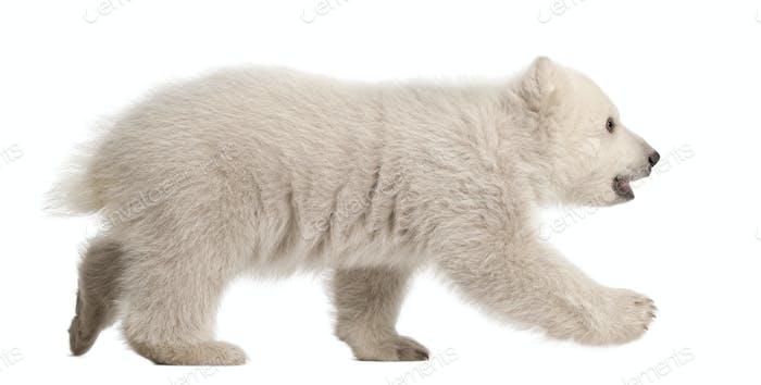 Polar bear cub, Ursus maritimus, 3 months old, walking against white background