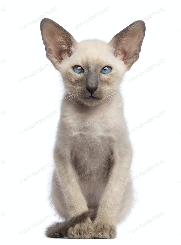 Oriental Shorthair kitten, 9 weeks old, sitting and looking at camera against white background
