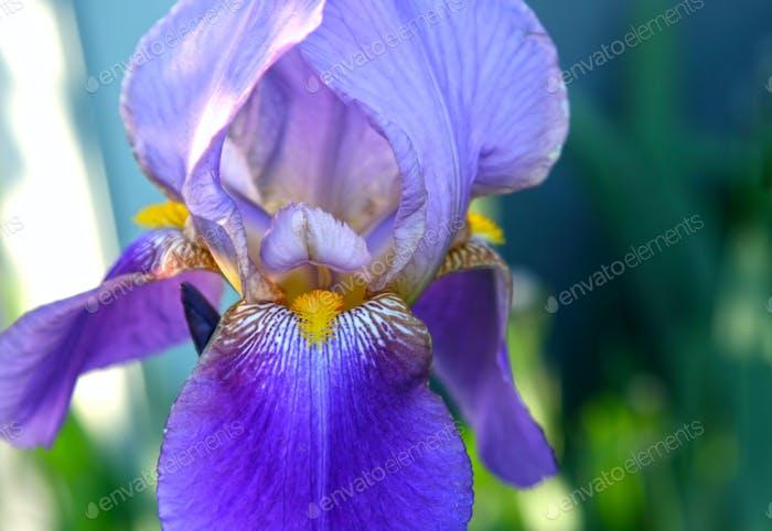 Nahaufnahme der schönen Iris Blume