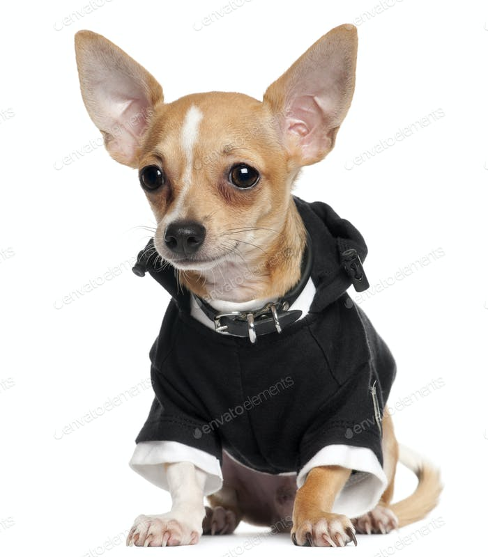 Chihuahua Puppy wearing black hoodie, 5 months old, sitting in front of white background