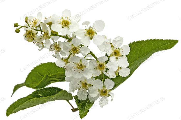Flowering  of bird cherry tree, isolated on white background