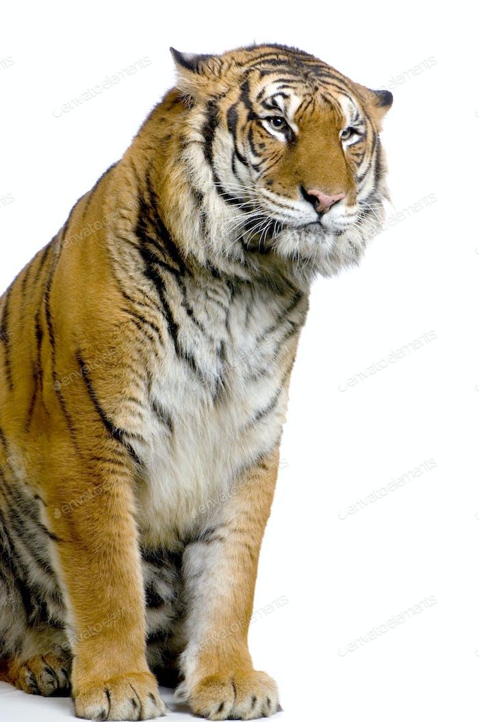 Tiger's posing