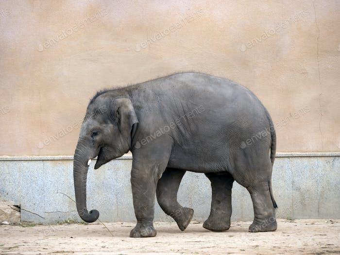 Kleiner Elefant Ein Spaziergang Ein Sommertag.