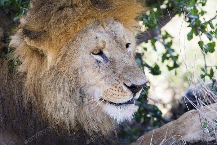 Großer männlicher Löwe ruht unter Baum in Afrika