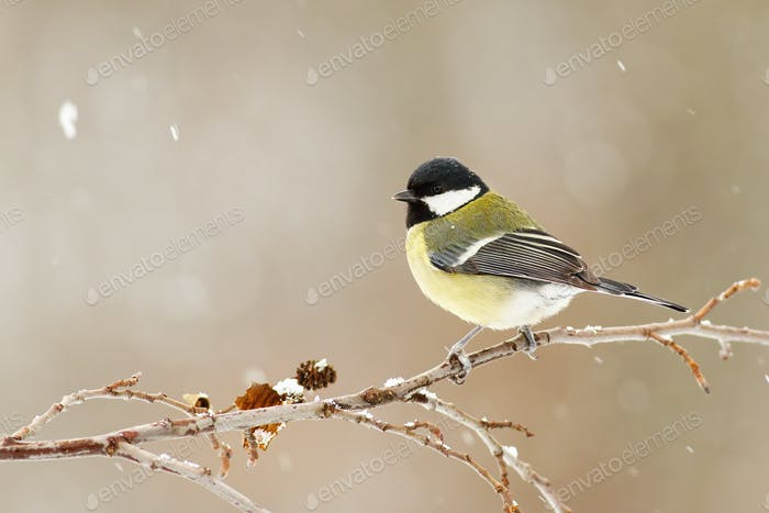 Great tit sitting on a twig in winter during snowfall