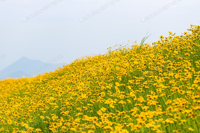 yellow coreopsis flowers blooming